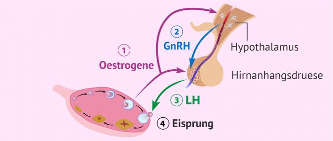 Imagen: Hormonelle Steuerung des Eisprungs