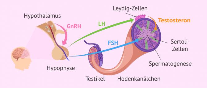 Imagen: Hormonelle Steuerung der Spermatogenese