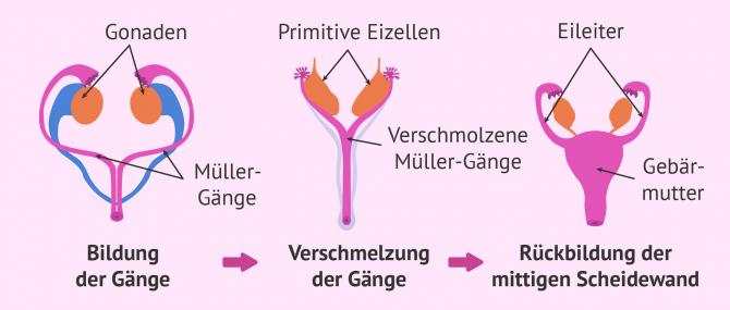 Imagen: Bildung der Müller-Gänge