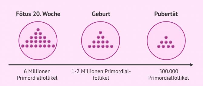 Imagen: Anzahl der Primordialfollikel bei Frauen vor der Geburt und bis zur Pubertät