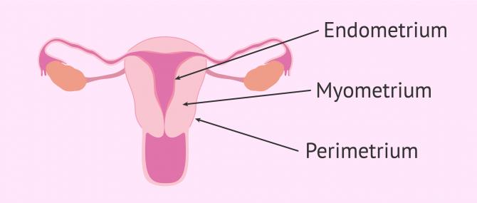 Imagen: Schichten die das Endometrium bilden