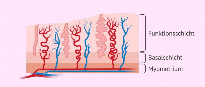 Imagen: Aus welchen Schichten besteht das Endometrium?
