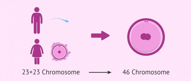Imagen: Befruchtung zwischen Eizelle und Spermium im Menschen