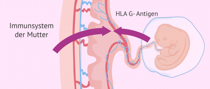 Imagen: Immunsystem in der Schwangerschaft