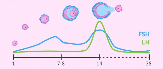 Imagen: FSH- und LH-Spiegel während des Menstruationszyklus