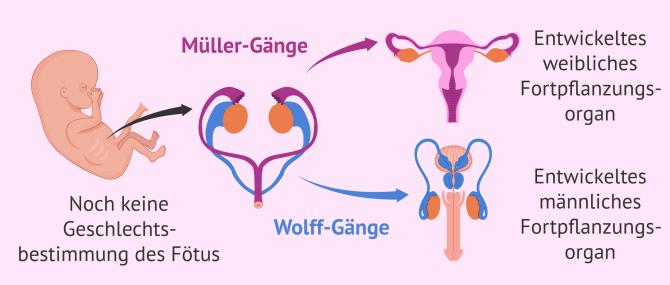Imagen: Geschlechtsbestimmung des Fötus
