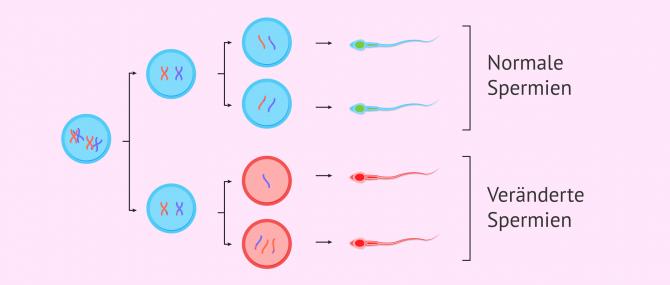Imagen: Spermatogenese und Meiose