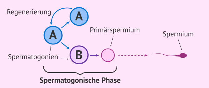 Imagen: Spermatogonische Phase in der Spermienproduktion