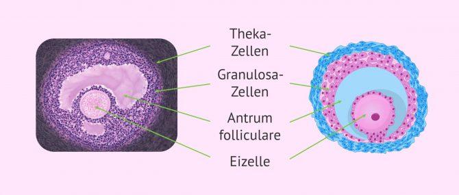 Imagen: Definition Follikel