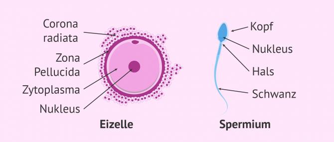 Imagen: Gamete Spermie Eizelle