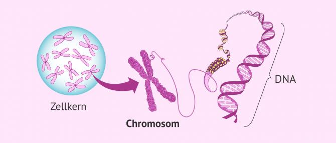 Imagen: So sieht ein Chromosom aus