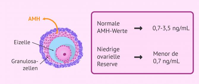 Imagen: Anti-Mullerian-Hormon (AMH)-Sekretion