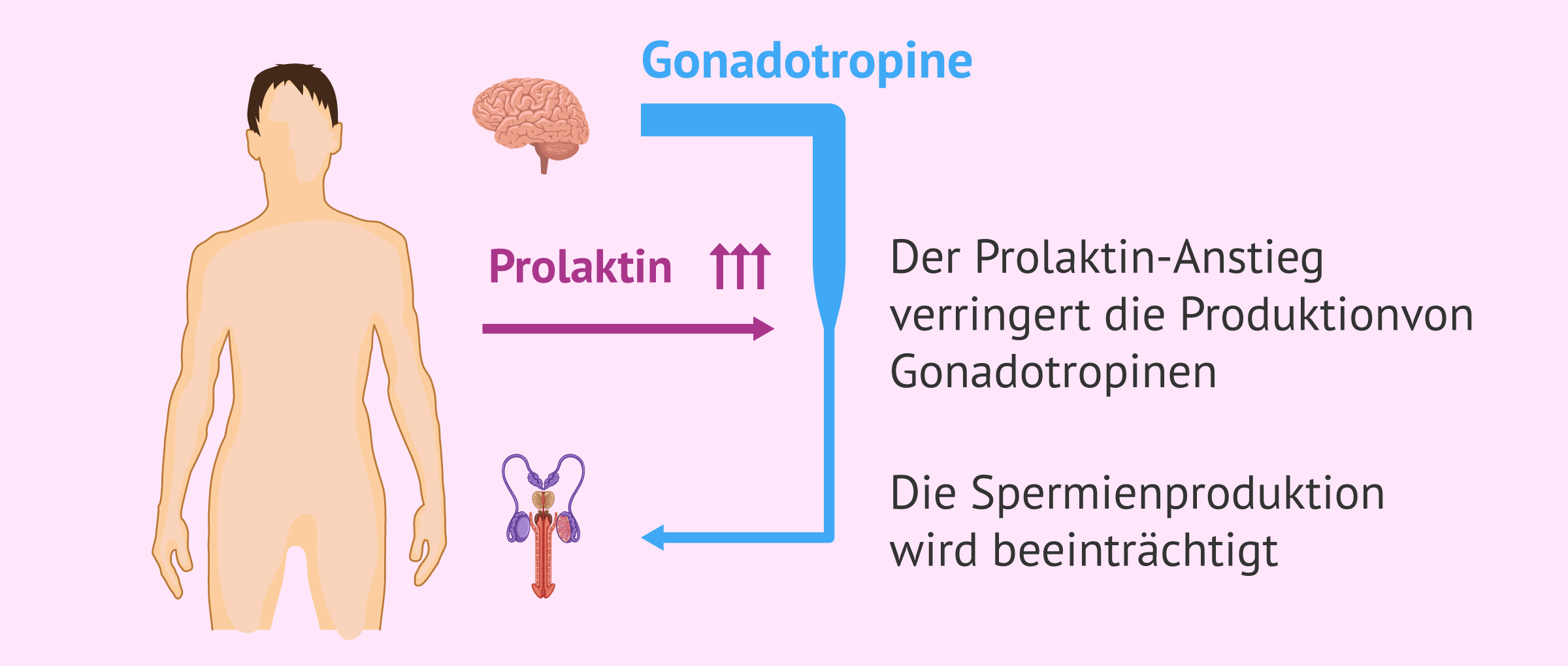 Schema zur Wirkungsweise der Hyperprolaktinämie