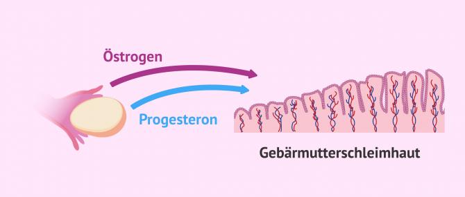 Imagen: Natürlicher Zyklus Vorbereitung Gebärmutterschleimhaut