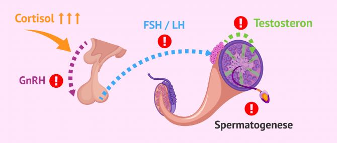 Imagen: Störungen der Hypothalamus-Hypophysen-Hodenachse bei Männern unter Stress