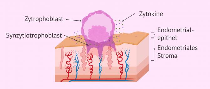 Imagen: Embryoeinnistung: Invasion
