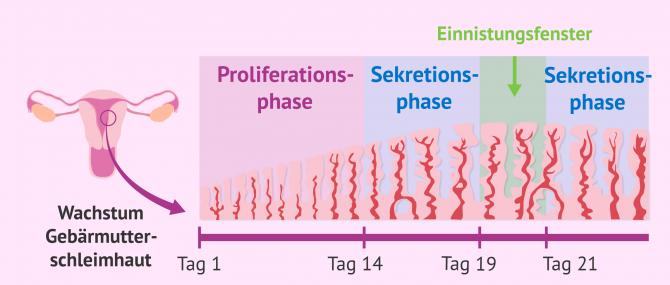 Imagen: Phasen beim Aufbau der Gebärmutterschleimhaut