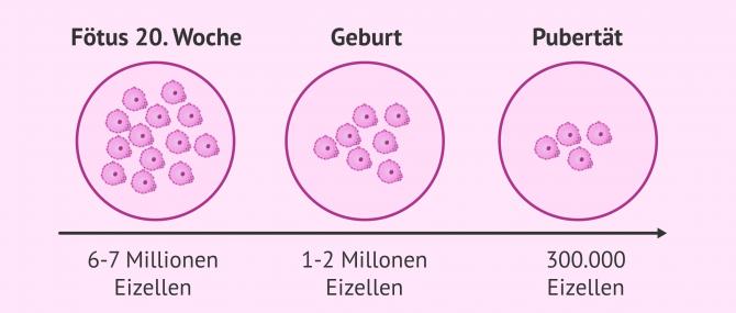 Imagen: So nimmt die Eizellreserve im Laufe des Lebens ab